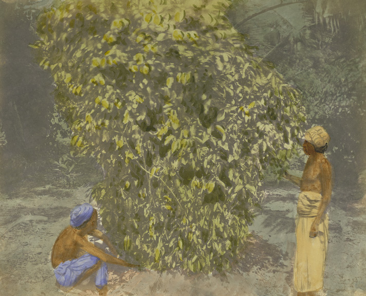 Photograph by Frederick Fiebig of a cinnamon bush in Sri Lanka (Ceylon)