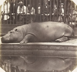 Regent's Park hippo